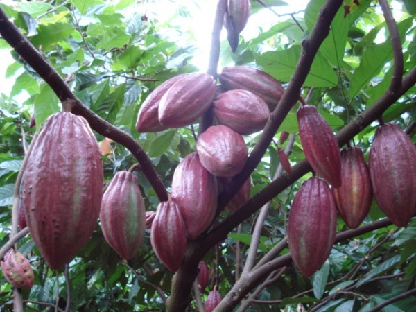 Quả cacao đang chờ thu hoạch