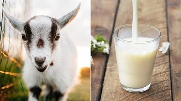 Giá trị dinh dưỡng vượt trội của sữa dê goatamil